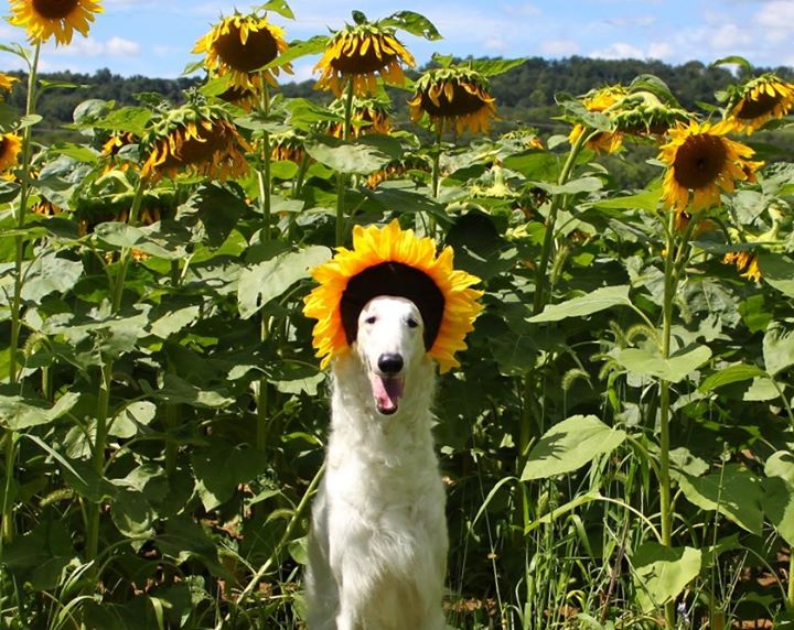 Dog Day at S'miles of Sunflowers