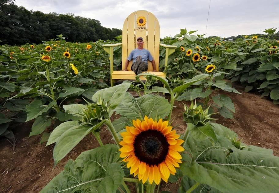 S Miles Of Sunflowers Lynd Fruit Farm